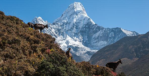تصویر حیات وحش در کوه های هیمالیا