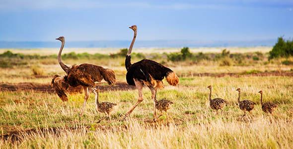 تصویر خانواده شتر مرغ و حیات وحش در آفریقا