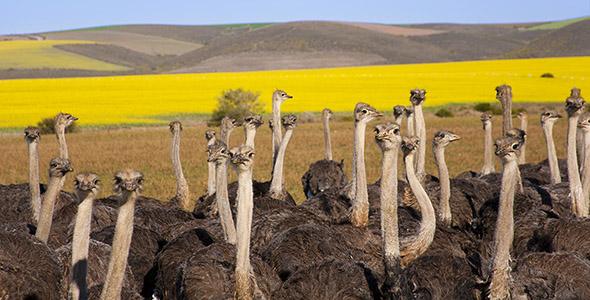 تصویر گروه شترمرغ در حیات وحش