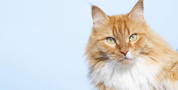 تصویر گربه خانگی و نگاه به دوربین