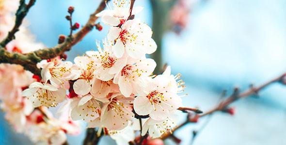 تصویر شکوفه درخت زردآلو در فصل بهار