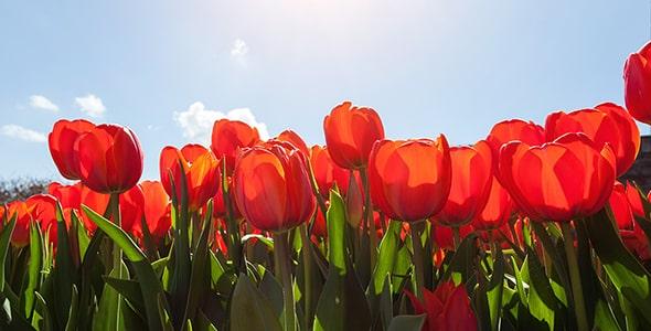 تصویر لاله های قرمز و آسمان آبی در فصل بهار
