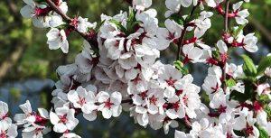 تصویر پس زمینه شکوفه درخت گیلاس در فصل بهار