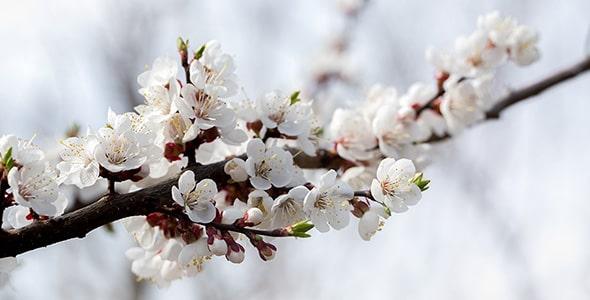 تصویر شکوفه و شاخه درخت زردآلو