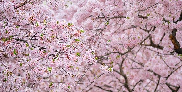 تصویر پس زمینه فصل بهار و شکوفه گیلاس