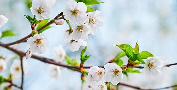 تصویر پس زمینه شکوفه گیلاس در فصل بهار