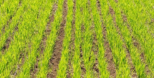 تصویر پس زمینه چمن و سبزه در زمین کشاورزی