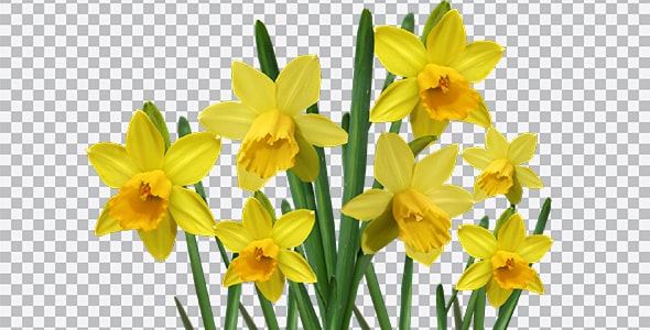 تصویر PNG مجموعه گل نرگس زرد