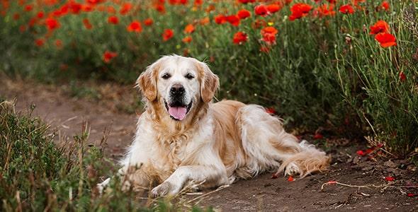 تصویر سگ رتریور نشسته در مزرعه گل شقایق