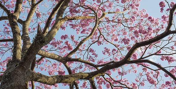 تصویر درخت با شکوفه صورتی در فصل بهار