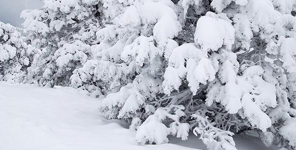 تصویر درختان صنوبر زیر برف در فصل زمستان