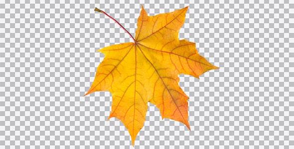 تصویر PNG برگ درخت چنار در فصل پاییز
