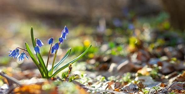 تصویر کلوزآپ گل آبی در جنگل و فصل بهار