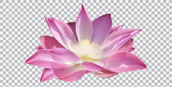 تصویر PNG گل لاله تالابی