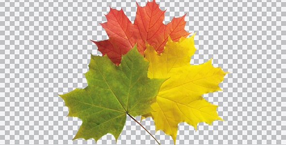 تصویر PNG نمای بالا مجموعه برگ درخت افرا