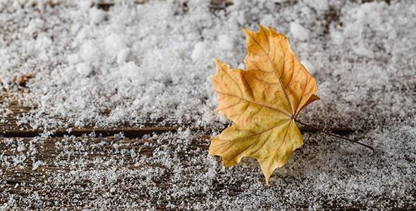 تصویر پس زمینه برگ افرا روی برف