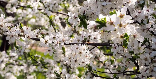 تصویر فصل بهار و کلوزآپ شکوفه گیلاس