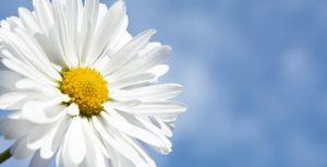 تصویر پس زمینه گل بابونه و آسمان