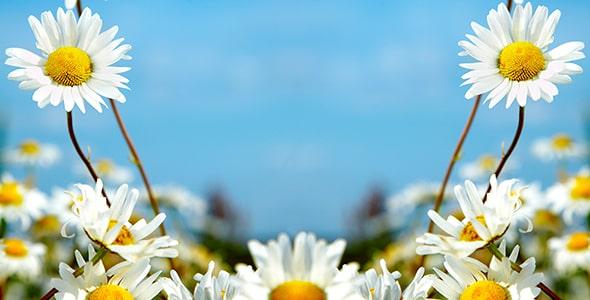 تصویر پس زمینه مزرعه گل بابونه