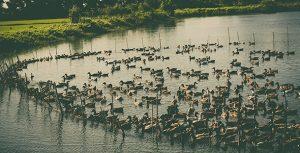 تصویر مجموعه اردک در مزرعه و مرداب